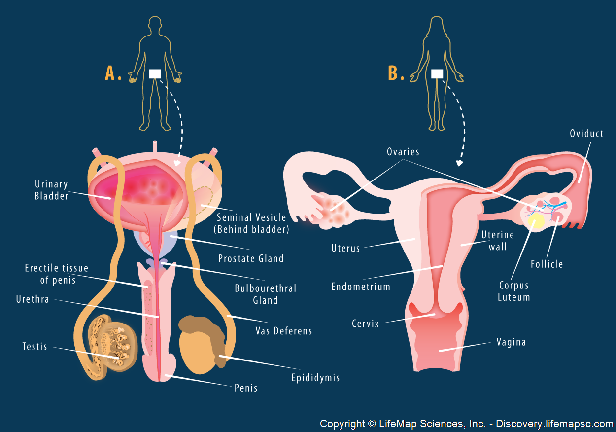 Female human reproductive system diagram female human reproductive system diagram photo9 ccuart Image collections