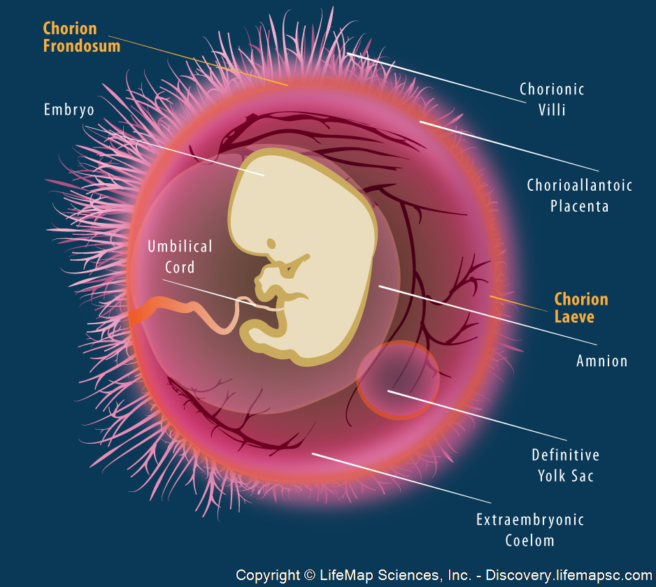 the human embryo and extraembryonic tissues infographic